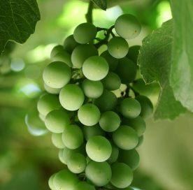 verjus-agresto-verjuice